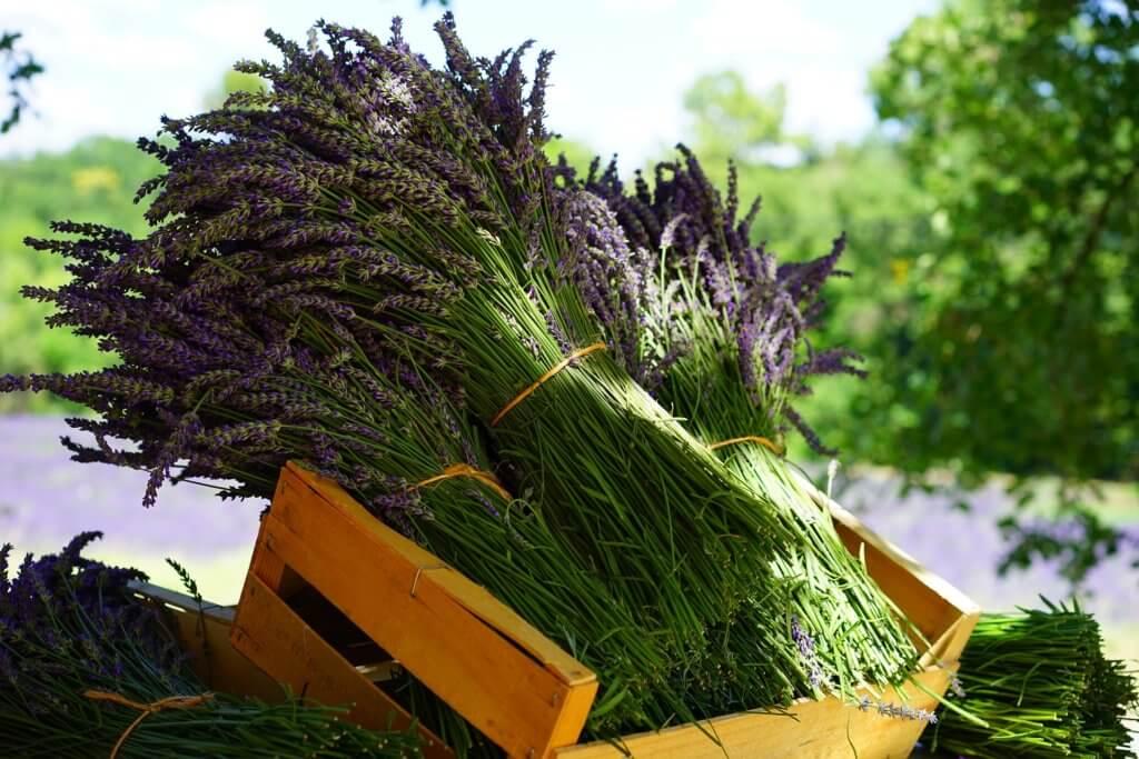 lavender-1595608_1920